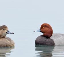 Adult female and breeding adult male. Bill Dix/Audubon Photography Awards