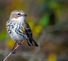Non Breeding Adult (Myrtle). Brian Kushner/Audubon Photography Awards