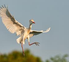 Breeding adult. Ken Lassman/Audubon Photography Awards