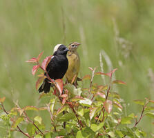 Breeding adult male and adult female. Ruhikanta Meetei/Audubon Photography Awards