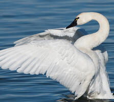 Adult. Mark Boyd/Audubon Photography Awards
