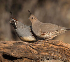 Adult male and adult female. Elroy Limmer/Great Backyard Bird Count