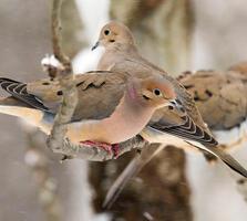 Adults. Betsy Bass/Great Backyard Bird Count
