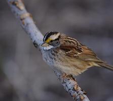 Adult (tan-striped morph). Daniel Irons/Great Backyard Bird Count