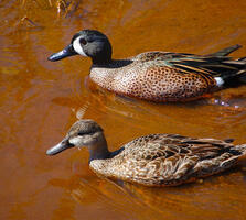 Breeding adult male and adult female. Scott Kinsey/Great Backyard Bird Count