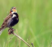 Breeding adult male. Prairie Pot Hole Region USFWS Mountain Prairie/Flickr (CC BY 2.0)