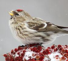Adult female. Missy Mandel/Great Backyard Bird Count