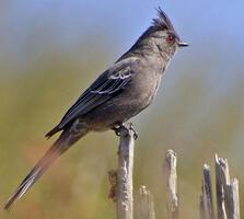 Adult female. Elaine Padovani/Great Backyard Bird Count