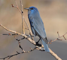 Adult. Pam Koch/Great Backyard Bird Count