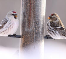 Hoary Redpoll and Common Redpoll, adults. D Faulder/Flickr (CC BY-2.0)