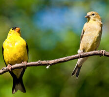 From left: Breeding adult male and breeding adult female. Jeff Goulden/iStock