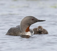 Breeding adult and downy young. Pchoui/iStock
