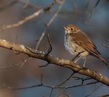 Adult. Christina Spann/Great Backyard Bird Count