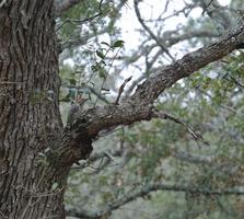 Adult male. Sebastian Casarez/Great Backyard Bird Count