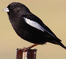 Breeding adult male. Tom Benson/Flickr (CC BY-NC-ND-2.0)