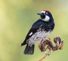 Adult male. George Scott/Audubon Photography Awards