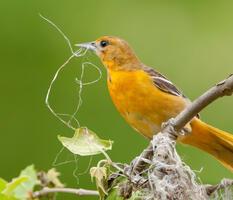 Adult female. Mark Boyd/Audubon Photography Awards