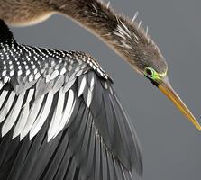 Adult female. Christine sandberg/Audubon Photography Awards