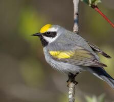 Adult male. Arni Stinnissen/Audubon Photography Awards