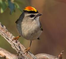 Adult male. Gary Robinette/Audubon Photography Awards