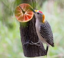 Adult male. Ellen Cox/Audubon Photography Awards