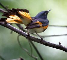 Adult male. Tom Warren/Audubon Photography Awards