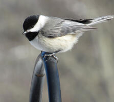 Adult. David Lugo/Great Backyard Bird Count