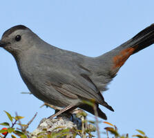 Adult. Marie Lehmann/Great Backyard Bird Count
