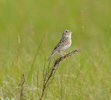 Adult. USFWS Mountain Prairie/Flickr (CC BY 2.0)