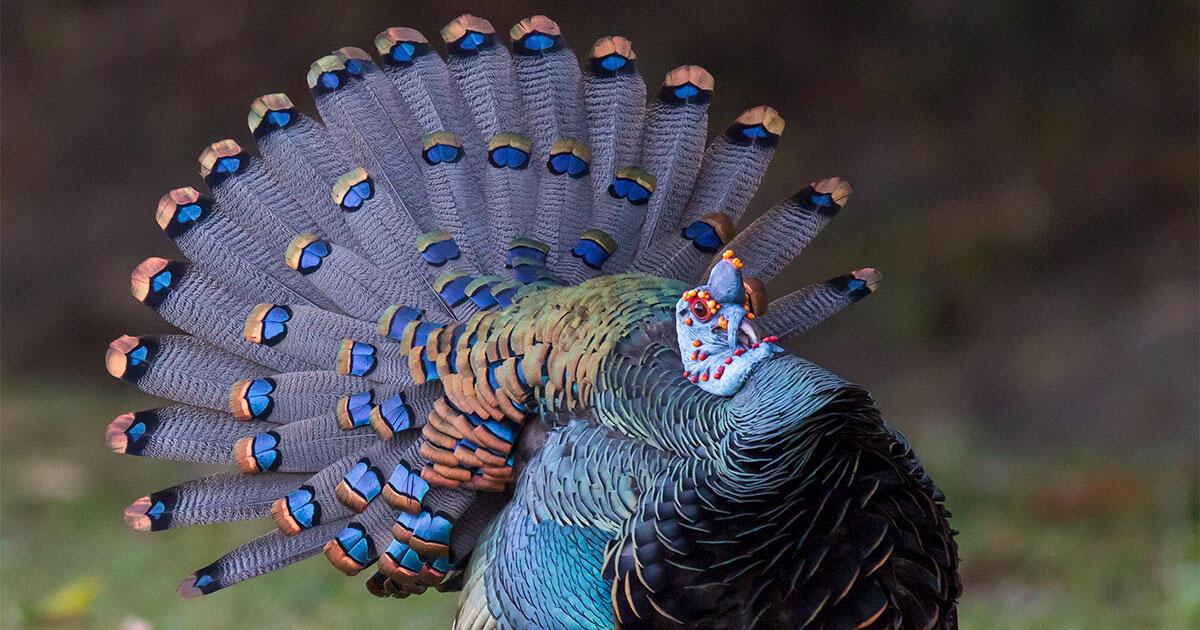The Wild Blue Turkey That Blew My Mind Audubon