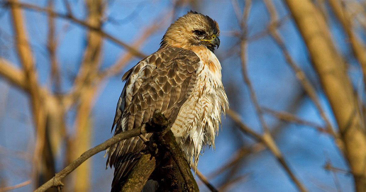 Pale Male Is A Legend But Is He Still Alive Audubon