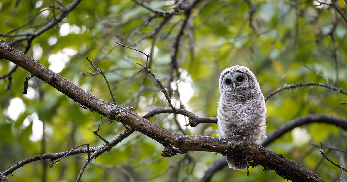 How Baby Owls Nap Without Falling From Their Trees Audubon