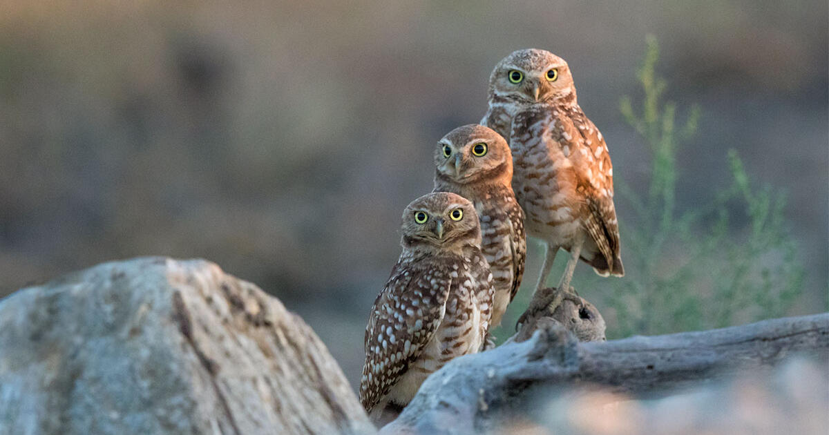 f apa 2017 burrowing owls a1 4391 1 kk photo ann kramer jpg?itok=HoA27Zg.'