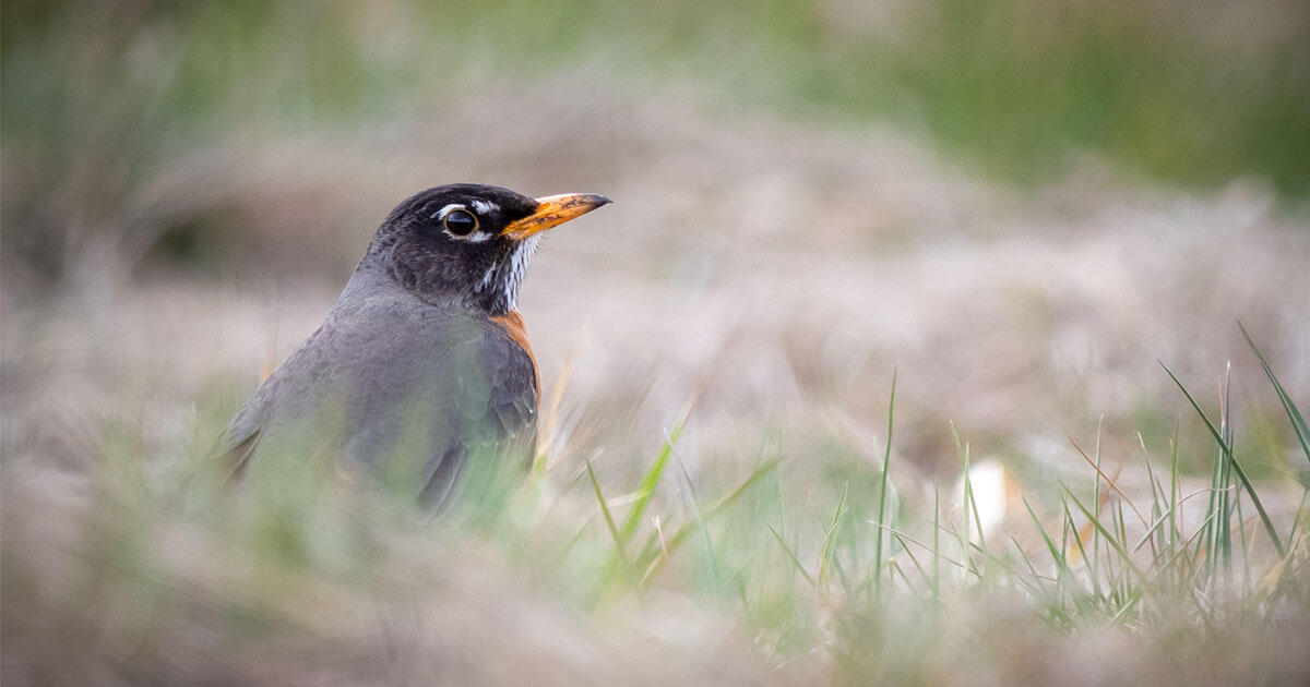 As the East's Songbird Epidemic Fades, the Cause Remains Unknown