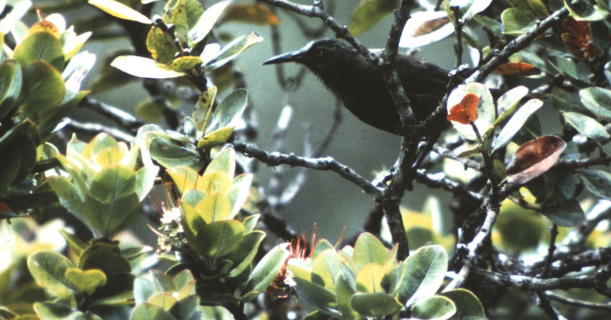 Wave of Hawaiian Bird Extinctions Stresses the Islands' Conservation Crisis