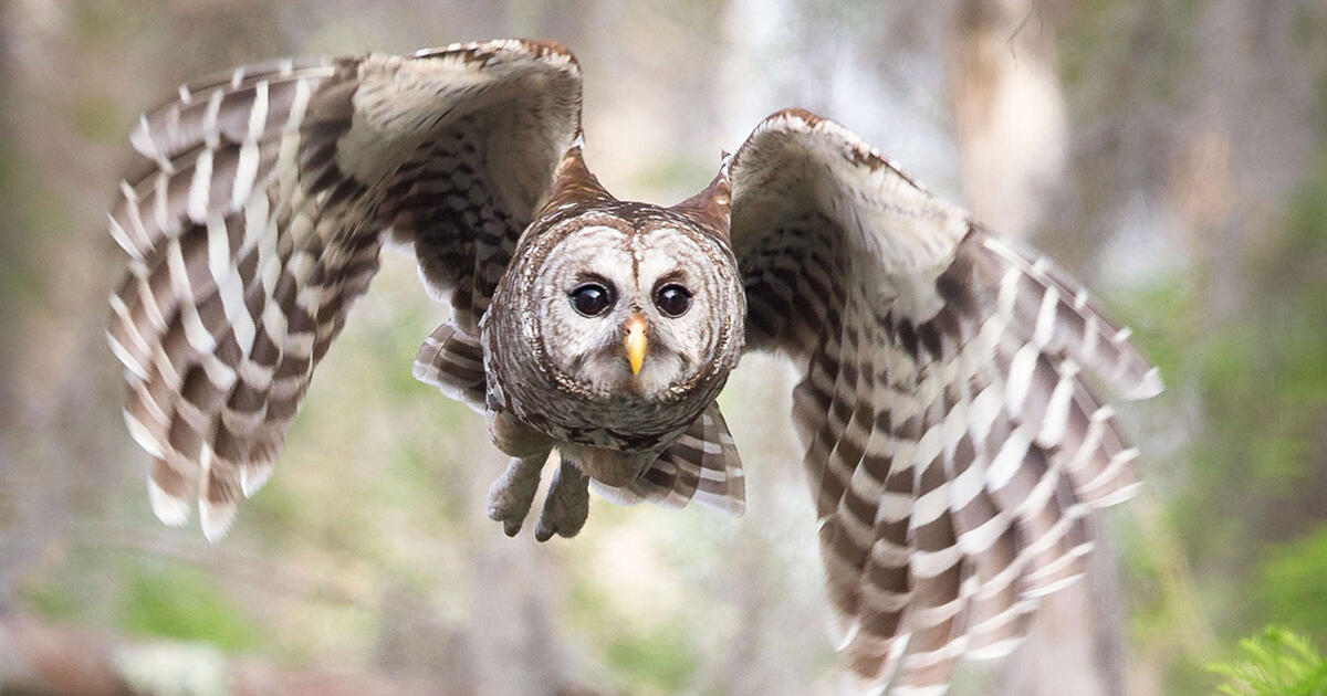 The Silent Flight Of Owls Explained Audubon