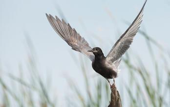 Breeding adult. Diana Whiting/Audubon Photography Awards