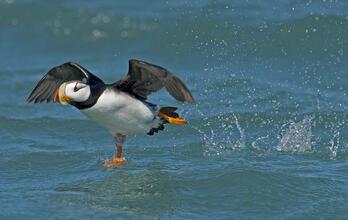 Horned Puffin. Aaron Baggenstos/Audubon Photography Awards