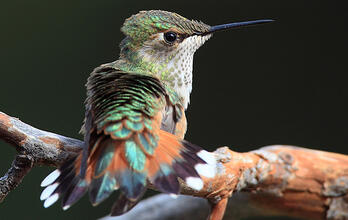 Start Helping Hummingbirds Now