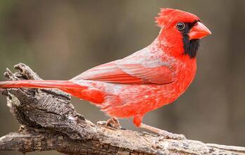 Northern Cardinal. Donald Brown
