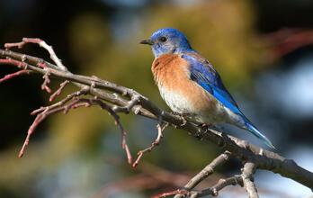 Adult male. Rick Lewis/Audubon Photography Awards
