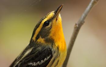 Blackburnian Warbler. Jamie Harrelson/Audubon Photography Awards
