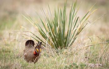 Lesser Prairie-Chicken.