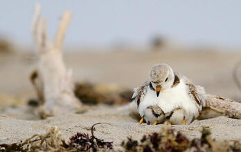 Piping Plover with chicks.