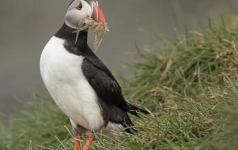 Atlantic Puffin holding fish in its beak.