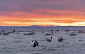 Greater Sage-Grouse. Greater Sage-Grouse. Evan Barrientos/Audubon