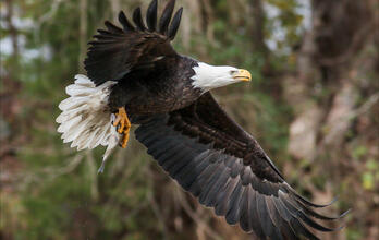 Bald Eagle in flight with fish.