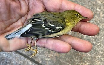 A close up photo of a deceased Blackpoll Warbler in the photographer's hand.