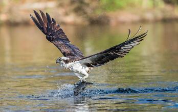 An Osprey catching a fish. Osprey Doug German/Audubon Photography Awards