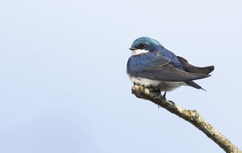 Tree Swallow Mick Thompson